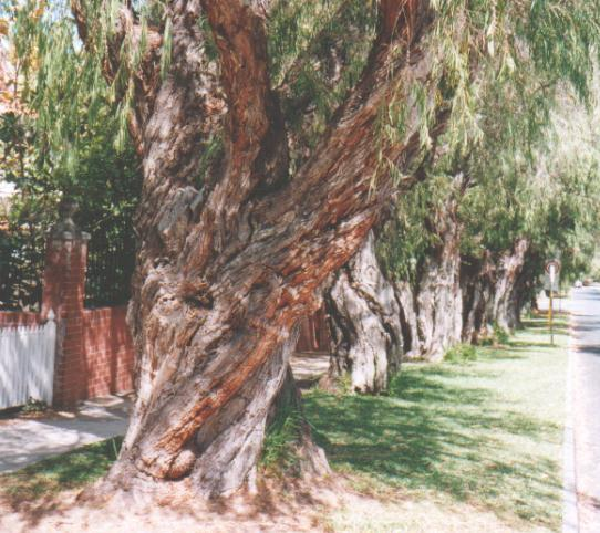 Streets Of Willow >> Peppermint Grove Peppermint Trees