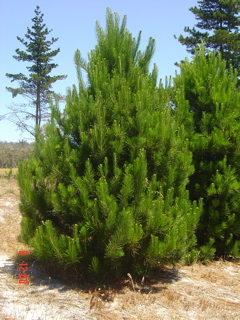 Cypress Christmas Tree