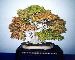 Major Bonsai Exhibitions in Tokyo each year